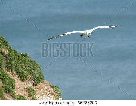 Gannet Seabird In Flight