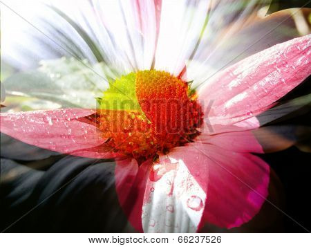 Spring Daisy And Fuschia Blend