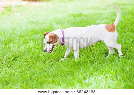 Small Dog Sniffing Lawn
