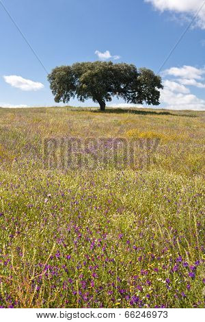 Lonely Holm Oak