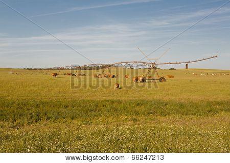 Cows Under Irrigation