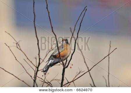 American Robin: Turdus migratorius
