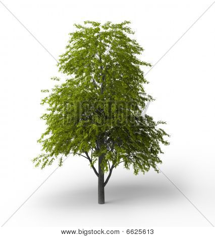 Tilia Cordata Isolated