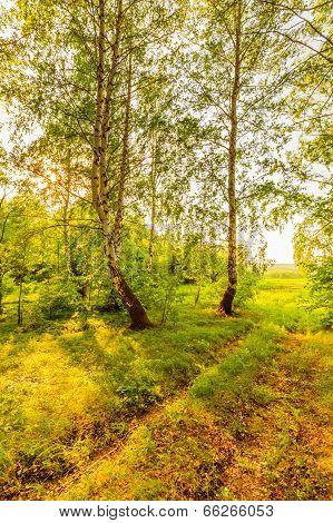 Rut In Birch Forest
