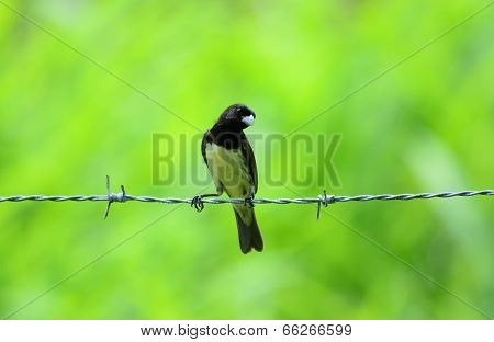 Yellow-bellied Seedeater Male (sporophila Nigricollis)