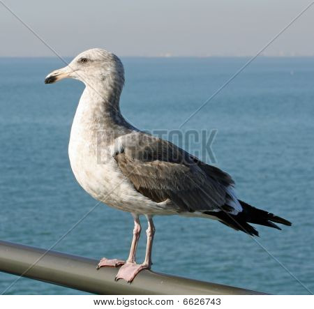Seagull on Rail