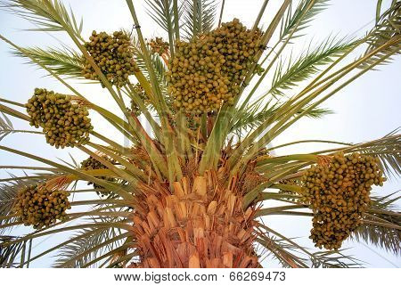 Harvest On Date Palm