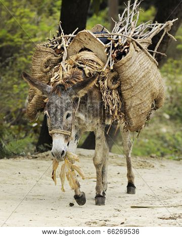 A burro eating leaves while walking a dirt trail with a large load on his back.