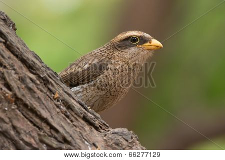 A Yellow-billed Shrike (corvinella Corvina) Peeking Out From Behind A Large Branch