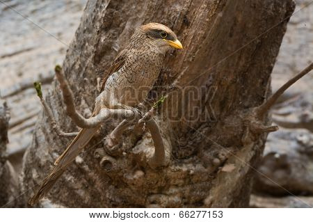 A Yellow-billed Shrike (corvinella Corvina) Perched On A Branch