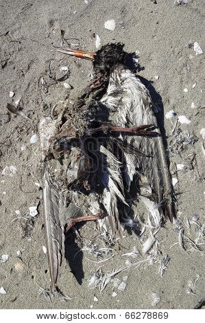 Variable Oystercatcher Remains