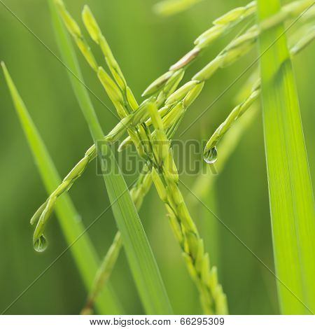 Close Up Ear Of Glutinous Rice In Green Field.