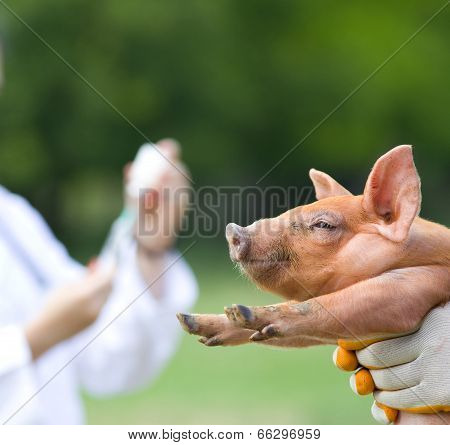 Vaccination Of Piglets