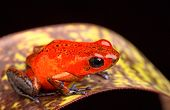 foto of poison frog frog  - red frog from Costa Rica poison arrow frog Oophaga pumilio - JPG
