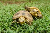 picture of green turtle  - Box Turtle sitting on green grass. Beautiful nature