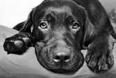 stock photo of black eyes  - Chocolate Labrador Retriever dog lies and looks sad eyes - JPG