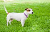 foto of spotted dog  - Little white dog with spots on a green lawn - JPG