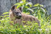 picture of hyenas  - Hyena hide behind the grass on day light - JPG