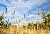 stock photo of marsh grass  - Marsh grass blows in the breeze set against a beautiful blue sky - JPG