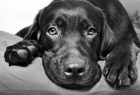 picture of labrador  - Chocolate Labrador Retriever dog lies and looks sad eyes - JPG