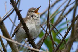 picture of nightingale  - The nightingale  - JPG