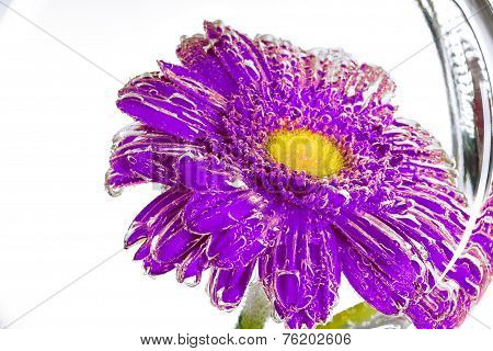 Purple Flower Of A Gerbera On A White Background