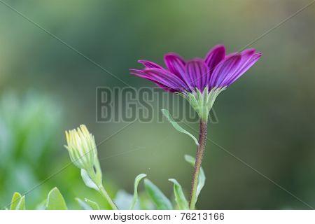 Closeup African Daisy Flower (osteospermum Ecklonis)