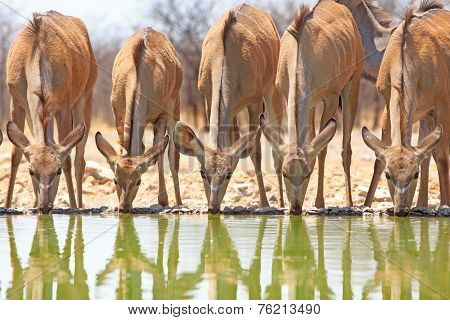 Female Kudu drinking from waterhole