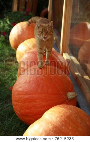 Cat walking on the pumpkins
