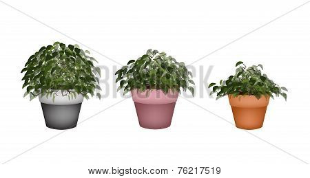 Three Beautiful Houseplant in Terracotta Flower Pots