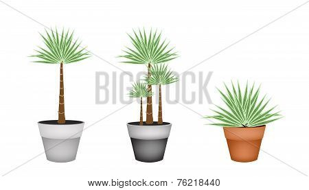 Three Palm Trees in Ceramic Flower Pot