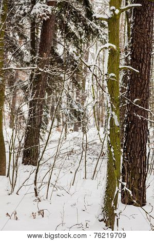 Forest Trees Covered With Snow, Winter Scsnery.