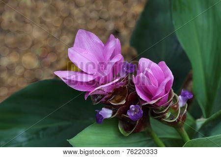 Curcuma Ginger Flower