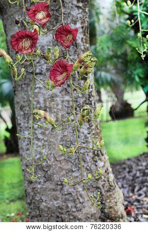 Kigelia Africana Flowers
