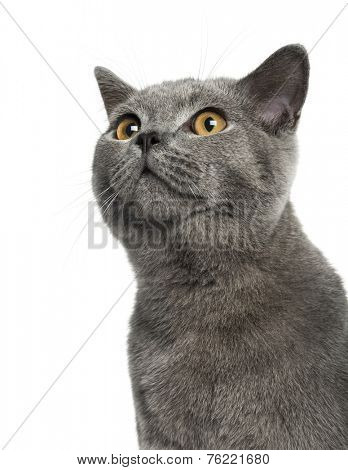 British Shorthair (6 months old)