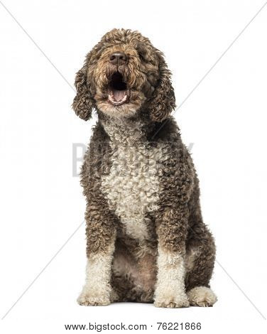 Spanish Water Dog barking (8 years old)
