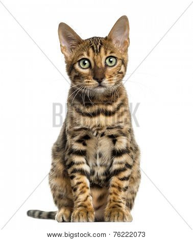 Young Bengal cat sitting (5 months old), isolated on white
