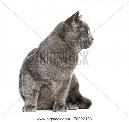 British Shorthair sitting (6 months old)