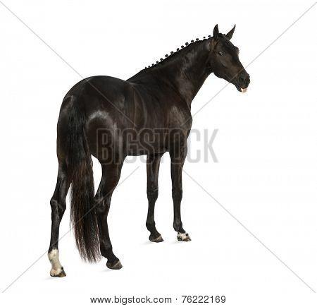 belgian sport horse (sBs) - 25 years old