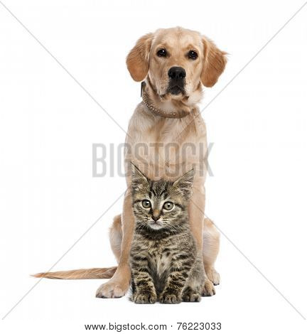 British Longhair kitten sitting in front of a golden retriever