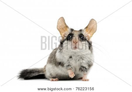 Asian garden dormouse (Eliomys melanurus) isolated on white