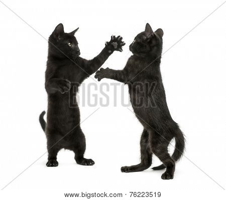 Two black kittens fighting