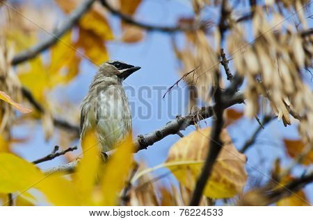 Cedar Waxwing Perched In An Autumn Tree