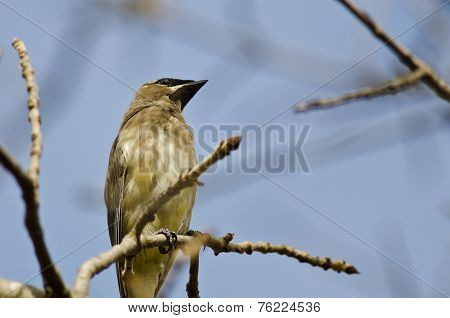 Cedar Waxwing Perched On A Branch In A Tree