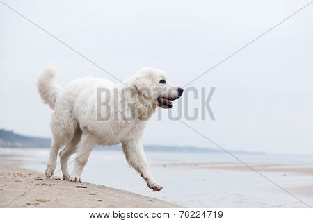 Cute white dog walking on the beach. Polish Tatra Sheepdog, known also as Podhalan or Owczarek Podhalanski
