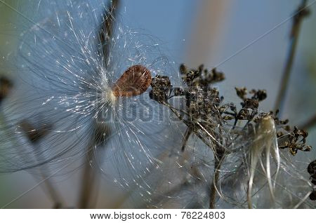 Snagged Milkweed Seed Glistening In The Sunlight