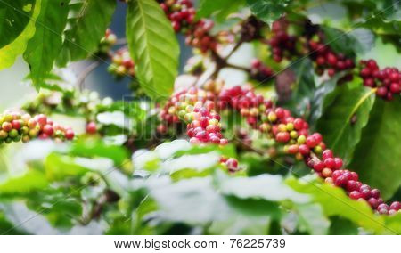 Coffee tree plantation background