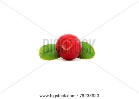 Cowberry With Two Leaves