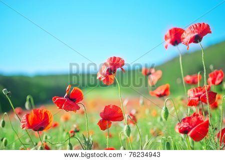 poppies field