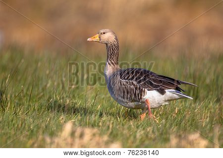 Greylag Goose (anser Anser) Walking Through Grass